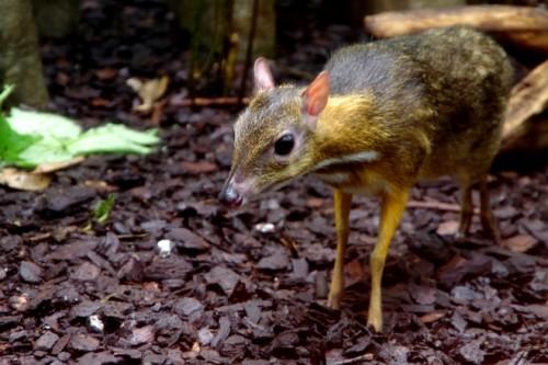 ciervo-raton-menor-1