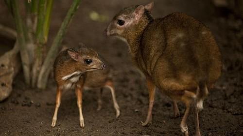 ciervo-raton-menor-2