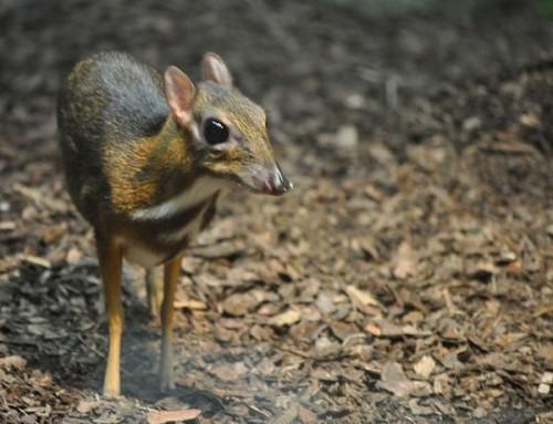 ciervo-raton-menor-3