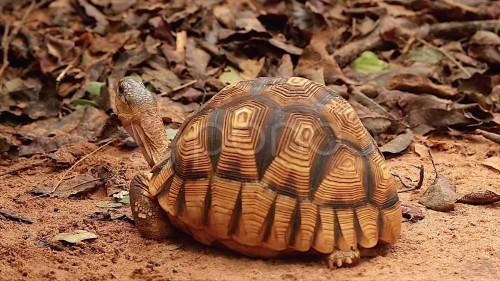 la-tortuga-angonoka-2