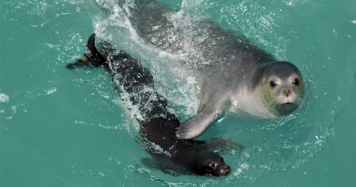 La foca monje del Mediterráneo 1